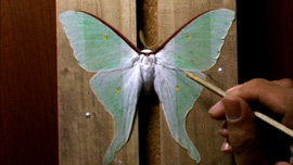 A collector spreads the wings of a freshly caught Luna Moth.