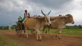 Bulls are the lifeblood, engine, and main transport in rural India.