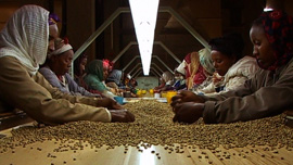 Ethiopian coffee pickers