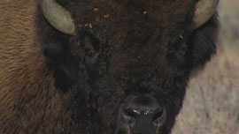 Close-up of lone bison in Yellowstone National Park