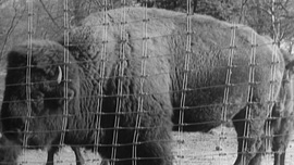 Photo, circa 1905, of a bison in a capturing facility in Yellowstone 