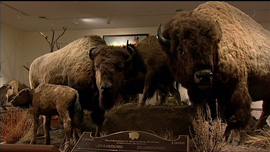 Taxidermied bison from the William Hornaday Smithsonian exhibit