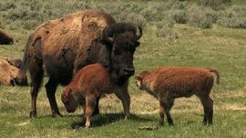 Bison cow and two calves, Yellowstone National Park