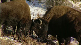 Two bison butting heads in Yellowstone National Park