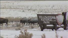 Bison in winter storm by a Yellowstone National Park sign