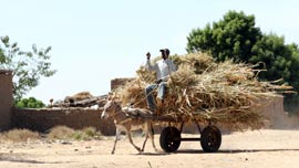 A farmer transports his grain harvest in Mali.