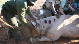 Translocation of a black rhino to communal conservancy, Namibia