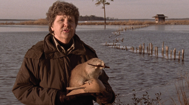 Maggie Briggs explains how muskrats can eat their own house