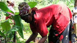 A Kenyan woman plants a tree