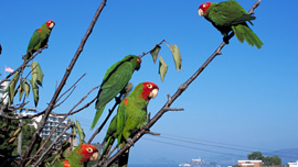 The wild parrots of telegraph hill with Alcatraz in the background