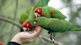 The parrots eating out of Mark's hand